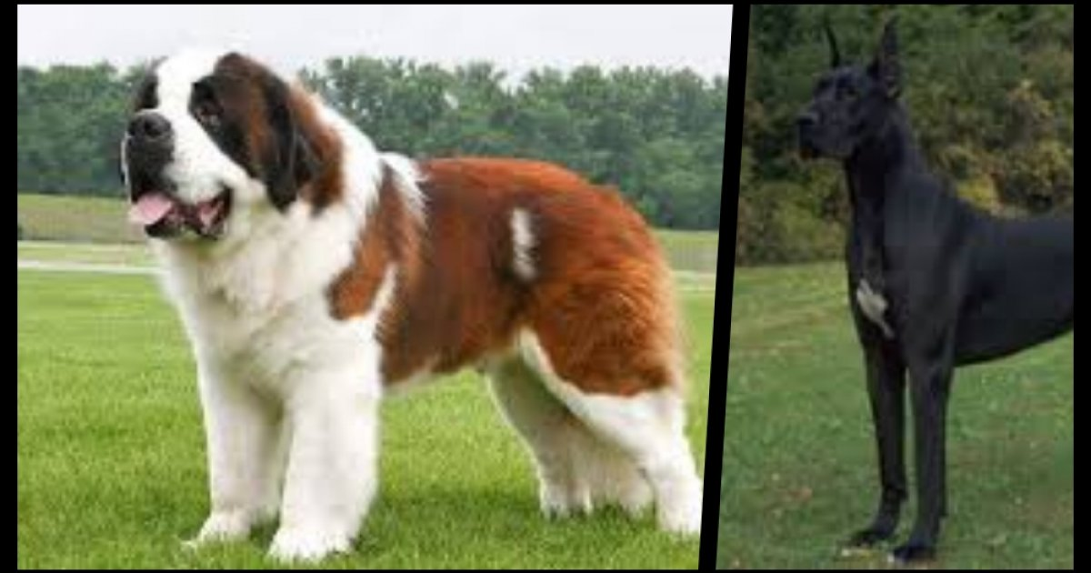 Largest Dog Breeds In The World That You Would Love To Own